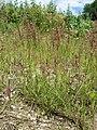 Agrostis stolonifera sl22.jpg