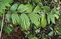 Alangium salviifolium leaves and flowers 01.JPG