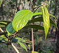Alangium salviifolium leaves and flowers 17.JPG