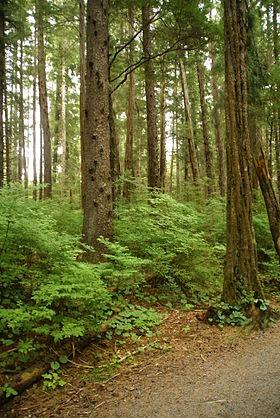 Blandet nåleskov på Sitka Island, Alaska.Sitka-Gran (Picea sitchensis) har skællet bark, mens Vestamerikansk Hemlock har ribbet.