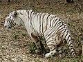 Albino Tiger at Bannerghatta National Park, Bangalore.jpg