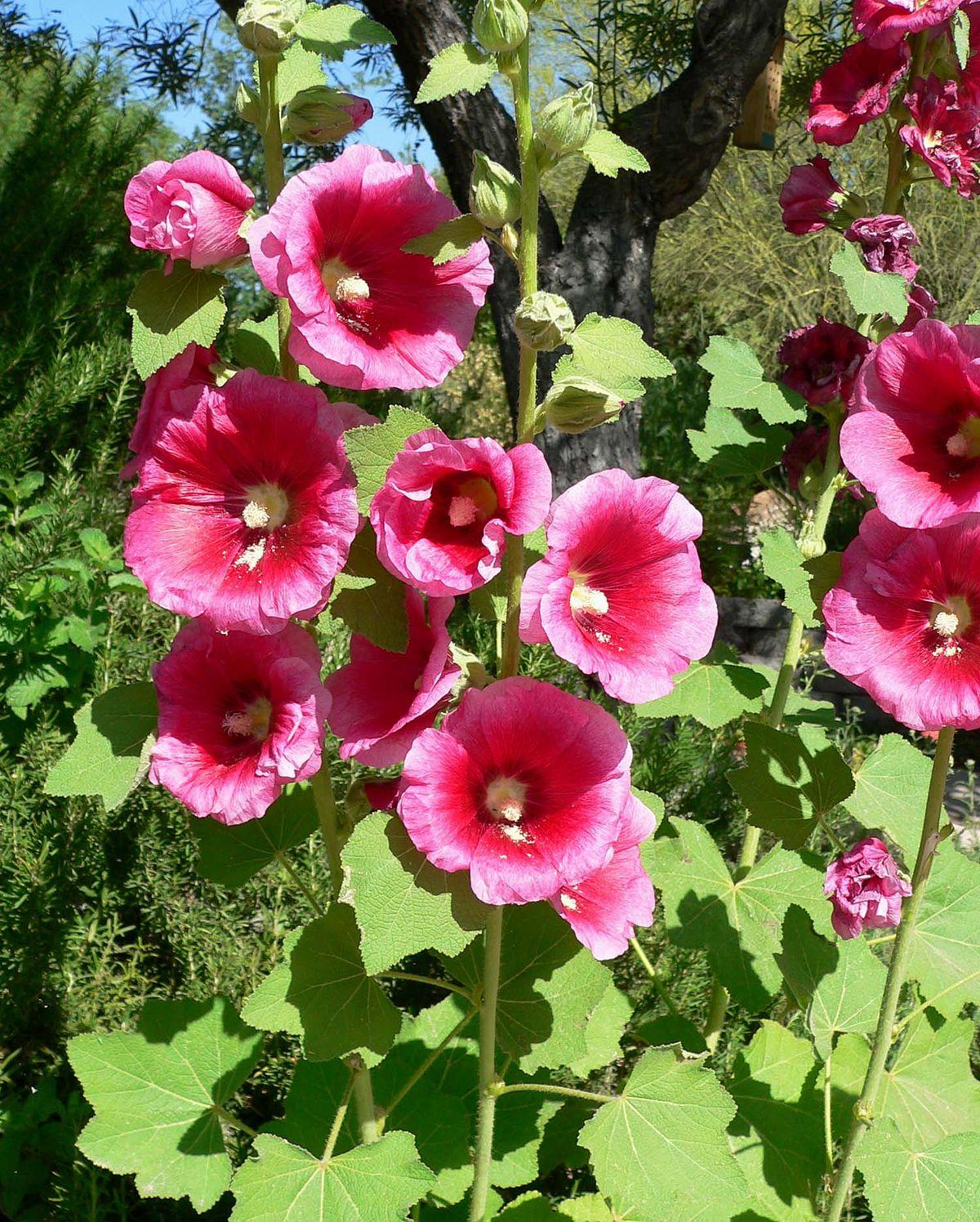 Stokroos wikipedia for Malvarrosa planta