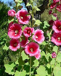 Alcea rosea lv 1