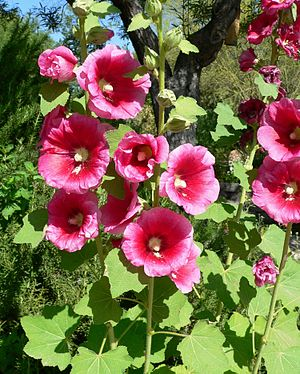 Malvaceae - Alcea rosea is a common garden flower in Malvaceae