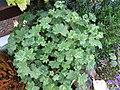 Alchemilla erythropoda (5644020803).jpg