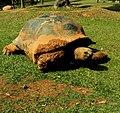 Aldabrachelys gigantea 亞達伯拉象龜 - panoramio.jpg