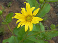 Aldama grandiflora (16372999059).jpg