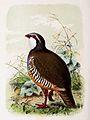 Alectoris rufa 1873.jpg