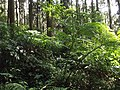 Alishan forest 2014 8.jpg