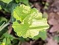 Alliaria petiolata in Aveyron (6).jpg