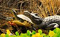 Alligator an Turtle - Andrea Westmoreland (2).jpg