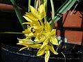 Allium moly fax02.jpg