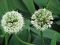 Allium victorialis Czosnek siatkowaty 2010-05-29 01.jpg