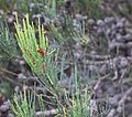 Allocasuarina Tree - Freycinet National Park - Flickr - brewbooks (1).jpg