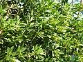 Allophylus natalensis, lower, Umhlanga-strandmeer NR.jpg