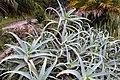 Aloe arborescens 1zz.jpg