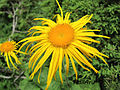 Alpine Flowers of Kashmir Valley copy.jpg