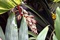 Alpinia zerumbet 21zz.jpg