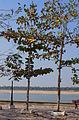 Alstonia scholaris Kratie Cambodia.JPG