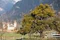Alter Baum, übervoll mit Misteln bedeckt. Igis, Graubünden, Schweiz.jpg