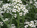 Alyssum or Lobularia maritima from Lalbagh flower show Aug 2013 8200.JPG