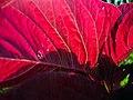 Amaranthus (2).jpg