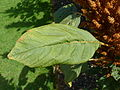 Amaranthus hypochondriacus (Amaranthaceae) leaf.JPG
