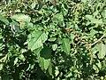 Amaranthus viridis sl19.jpg