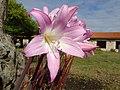 Amaryllis belladonna.001 - O Monticaño.jpg