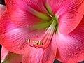 Amaryllis stem.jpg