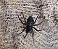 Amaurobius ferox female. Black Laceweb Weaver (35873934711).jpg