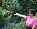 Amazona aestiva -National Aviary -USA -flying-8b.jpg