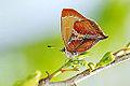 Amblopala avidiena y-fasciata female ventral view 20140329.jpg