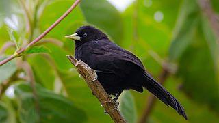 Yellow-billed cacique species of bird