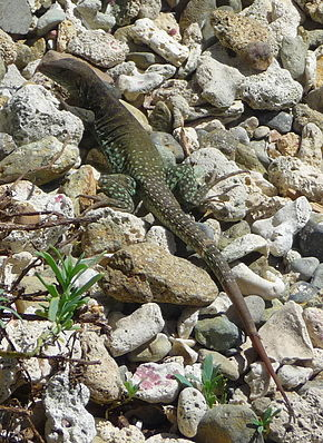 Description de l'image Ameiva plei by Cyndy Sims Parr 01.jpg.