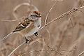 American Tree Sparrow (8316242847).jpg