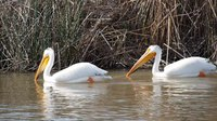 File:American white pelicans (Pelecanus erythrorhynchos) in Utah.webm
