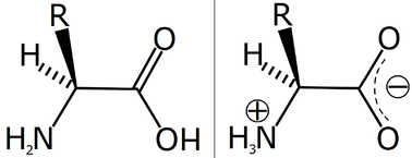An amino acid, in its (1) nominal (unionized) and (2) usual, zwitterionic forms.