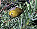 Among the Greens - Zosterops japonicus.jpg