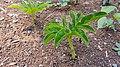 Amorphophallus paeoniifolius seedling (Philippines).jpg