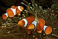 Amphiprion ocellaris (Clown anemonefish) PNG by Nick Hobgood.jpg