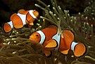 Amphiprion ocellaris (Clown anemonefish) by Nick Hobgood.jpg