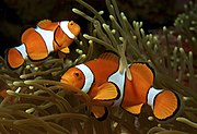 Amphiprion ocellaris (Clown anemonefish) by Nick Hobgood.jpg