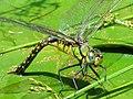 Anax nigrofasciatus nigrofasciatus female1.JPG