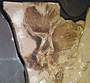 Theropoda - Fossil of a Anchiornis, showing large preserved feather imprints.