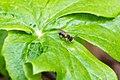 Andrena sp. (40350691654).jpg