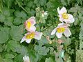 Anemone hupehensis in Copenhagen (flowers).jpg