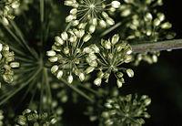 Angelica atropurpurea NRCS-2.jpg