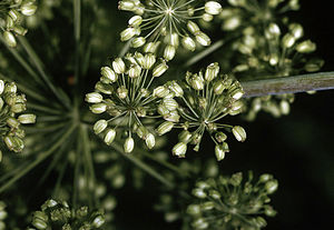 Angelica atropurpurea - Image: Angelica atropurpurea NRCS 2