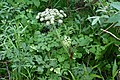 Angelica saxatilis (Apiaceae) (35795049090).jpg